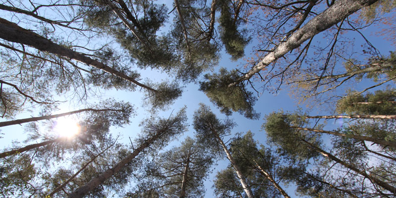 Photo of the pine trees looking up on Par 4 Hole 1 at Tamarack Golf Club in Oswego, NY.