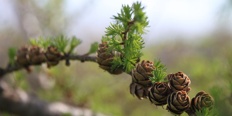 Photo of pine cones on a tamarack tree in the spring at Tamarack Golf Club in Oswego, NY.