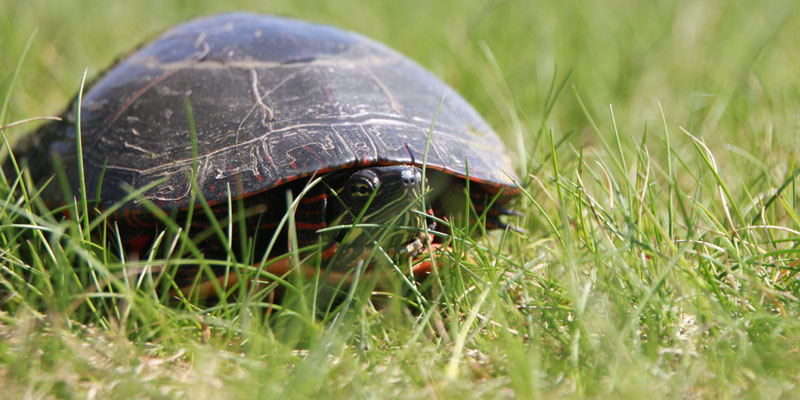 Photo of a turtle just off of hole 11 at Tamarack Golf Club in Oswego, NY.